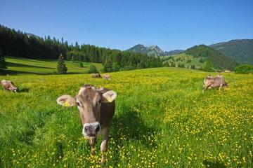 Braunvieh cows